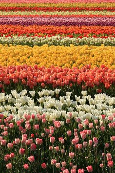 This is NOT a Dutch field....! >> Skagit Valley Tulip Festival, Mount Vernon, Washington
