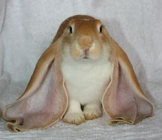 There are five reconized lop breeds English , French, Mini, Holland and Fuzzy Lop
