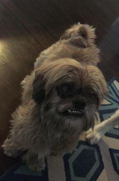 Found Dog - Shih Tzu - Windermere, FL, United States