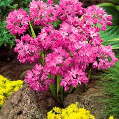 'Růžový česnek'. Allium oreophilum. Onion Flower, Garden, Flowers, Plants, Lily, Garten, Lawn And Garden, Gardens, Plant