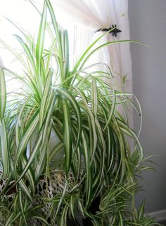 Spider plants are one of the best houseplants at filtering impurities from the air.