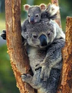 Crying Koala