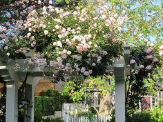 plantes grimpantes pour pergola - rosiers de couleur crème