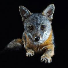 photo by @joelsartore | Say #hello to Tachi a Catalina Island fox at Quail Valley Fox Clinic on Catalina Island #California. #Follow me for more #PhotoArk images! #cute #photooftheday #joelsartore by natgeo