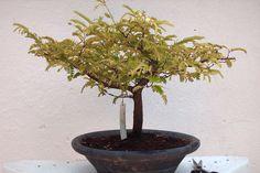 Bonsai de Tamarindo | Flickr - Photo Sharing!
