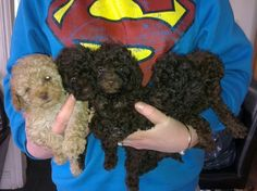 CHOCOLATE TOY POODLE PUPPIES