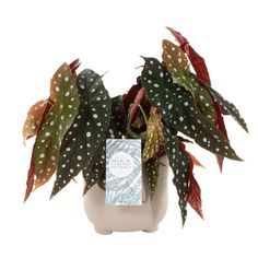 Green lifestyle store Begonia maculata incl. 'Stone Grey' pot