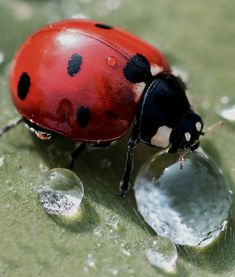 ladybug on leaf with droplets. Photo Coccinelle, Beautiful Creatures, Animals Beautiful, Animals And Pets, Cute Animals, Ladybug Art, A Bug's Life, Beautiful Bugs, Beautiful Pictures