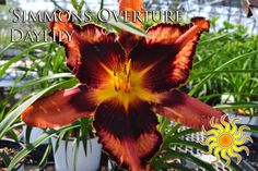 """Simmons Overture Daylily Plant in full sun, blooms June - August and reaches a height of 26"""""""