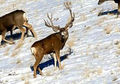 Mule Deer......why in the world did this have to be the first deer I shot at and missed.....