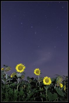 big dipper & sunflowers