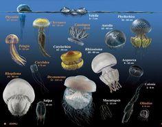 Denizanası Zehirlenmesi - Acil TIP