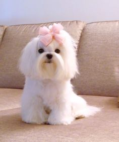 Medium cut for Maltese dog