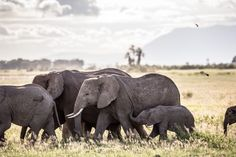 Aug. 12, 2013. Elephants walking at Amboseli National Park in Nairobi, Kenya.