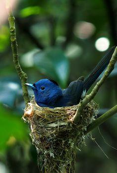passaro azul no ninho
