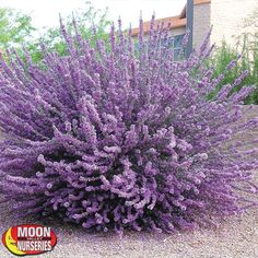 Heavenly Cloud Sage 2019 HEAVENLY CLOUD SAGE: blooms Spring-Fall full sun evergreen drought tolerant The post Heavenly Cloud Sage 2019 appeared first on Landscape Diy. Full Sun Landscaping, Succulent Landscaping, Front Yard Landscaping, Landscaping Ideas, Southern Landscaping, Modern Landscaping, Backyard Patio, Garden Shrubs, Shade Garden