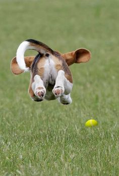This cannot be a Basset Hound. They never have this much energy