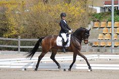 dressage horse Davie Jones (Westphalian, 2004, from Damon Hill)