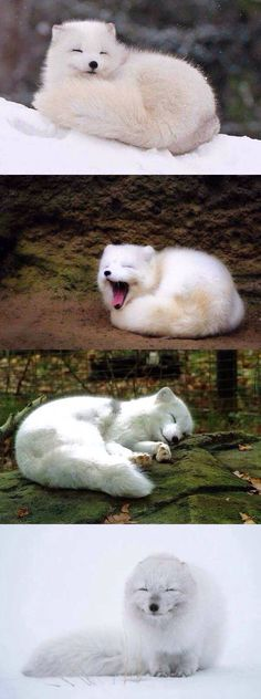 Arctic fox! So cute!