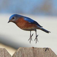 jumping bluebird
