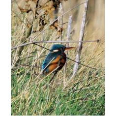 Kingfisher spotted one aftrenoon by the water