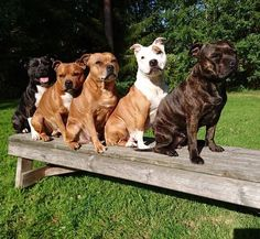 The staffygang Staffordshire Bullterrier HP Stolpe Staffy Big Dogs, Cute Dogs, Dogs And Puppies, Corgi Puppies, Pit Bulls, Labrador Golden, Black Labrador, Staffy Dog, Bully Dog