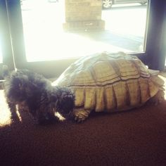 Izzy meets turtle part 2. (Izzy the Cockapoo)
