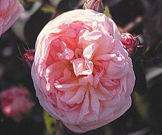 Souvenir de La Malmaison - Old Garden Roses - Roses - Heirloom Roses