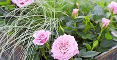 Ruukkuruusu kukkii pitkälle syksyyn, kun hoidat sitä oikein. Lue Viherpihasta vinkit, joilla ruukkuruusun hoito onnistuu parhaiten.