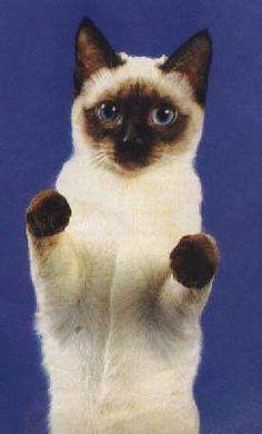 Сиамские кошки, оригинал