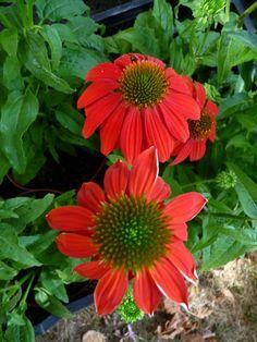 chinace rouge vif HortiflorBureau Fte des plantes fruits et