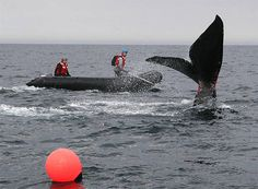 A young right whale off the South Carolina coast on Jan 4, 2005. Seismic surveys are on hold while the U.S. Fish and Wildlife Service weighs the risks to endangered whales and other marine life.