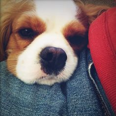 I want to get a Cavalier King Charles Spaniel puppy... One day. :/