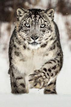10bullets: Snow Leopard by Paul Keates