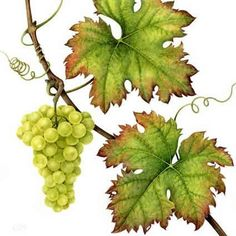 watercolor grape leaves - Google Search