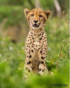 The face..  - @richsteyn - #capturethewild #africa #africanamazing #animal #animalkingdom #animalprint #bestanimal #big5 #mammal #waterhole #gamereserve #natgeo #nature #southafrica #wildlife #kruger #krugernationalpark #instaanimal #nature #naturelovers #cheetah #cub #beauty #beast #young #special #insparation