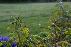 Peony buds forming