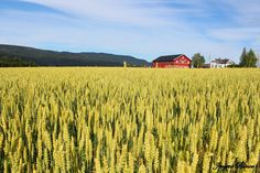 Wheat field by Jevgeni Blinov on 500px