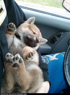 Shiba Inu Puppy Coming Home - such a sweet sleep baby.