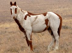 Mustang Horse | info information on horse breeds from a to z home horse breeds horse ...