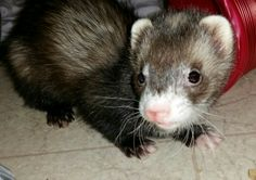 My name is Embers and I am almost 4 months old. I am a teeny tiny hob and hope that my big brother and sister, Augustus and Hazel get used to me. I brought my brother, Zeus, with me. He is very fast so hoomans never get pictures hehehe 4 Month Olds, 4 Months, Ferret, Brother, Sisters, Bring It On, Big, Board, Pictures