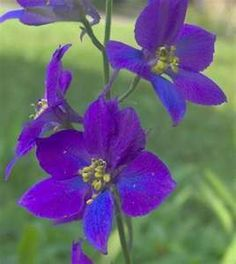 larkspur- open heart (I lived in a dorm called Larkspur when I lived in Yellowstone.)