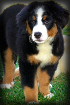 mini newfoundland and labrador mix dog - Google Search