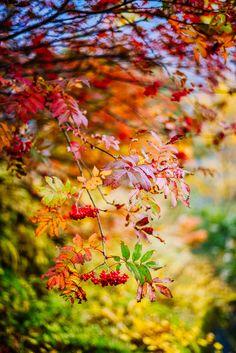 Rowan tree - null