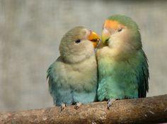 Lovebirds - NZ Queenspark