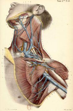 BONAMY, Constantin (b.1812), Paul BROCA (1824-1880 https://www.pinterest.com/pin/287386019946528537/), and Émile BEAU (b.1810). Atlas d'Anatomie Descriptive du Corps Humain, Paris, [1844-46]. Tome 2me. Pl. 28.