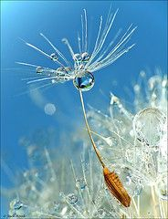sweet macro photo of a dandelion seed...