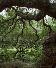Angel Oak, Charleston, SC © 2015 Patty Hankins