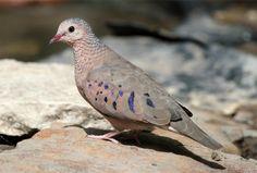 Columbina passerina (Common Ground Dove) | Flickr - Photo Sharing!