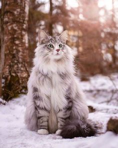 Winter is here . Winter is here . Credit: Selected by: . Want to be featured too? Current contests: Soon! Check out our pawtners: . Cute Cats And Kittens, Cool Cats, Kittens Cutest, Kitty Cats, Beautiful Cats, Animals Beautiful, Cute Animals, Chat Male, Cat Anatomy